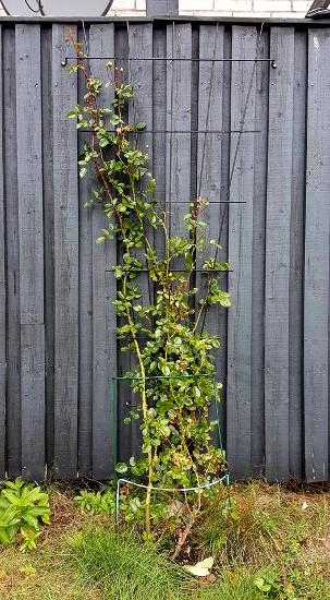The New Dawn rose bush I've been pampering has almost outgrown its trellis.