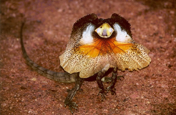 David Katz's bragging reminds me of the threat display of Chlamydosaurus king, or the frilled-neck lizard, except that his neck frill consists of pages of his CV.