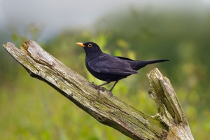 Blackbird image from: Ernie Janes/naturepl.com