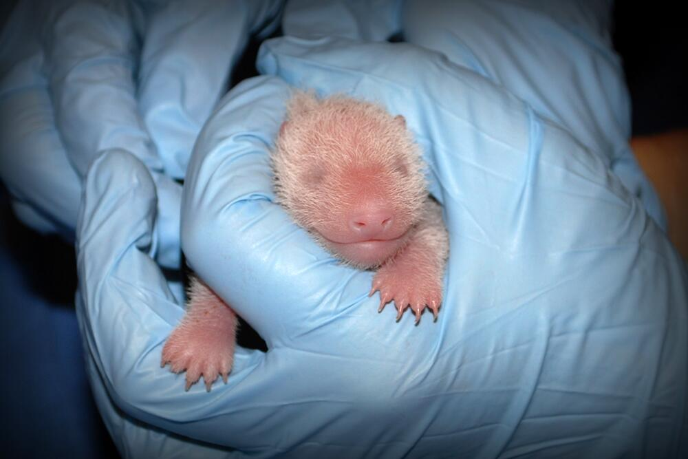 Image of panda bear cub at its first exam from the National Zoo.