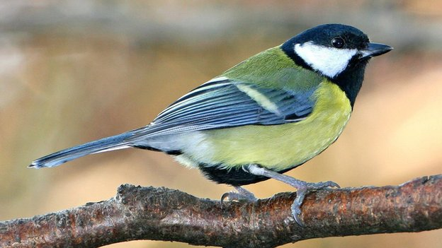 Image of male great tit from BBC News.