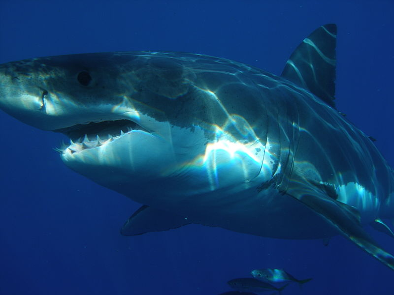 Image of a great white shark from Wikimedia Commons.