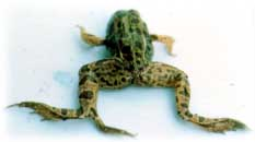Frog with an extra foot. Image from the Minnesota Pollution Control Agency.