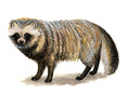 Image of a raccoon dog from: Animal Diversity