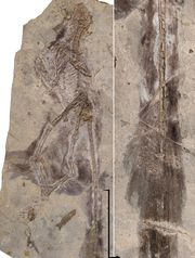 Photo of fossil by: Stephanie Abramowicz, Dinosaur Institute, NHM as published in the USA Today