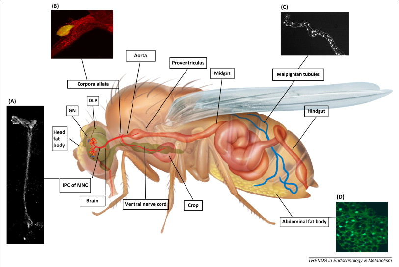 drosophila fat body