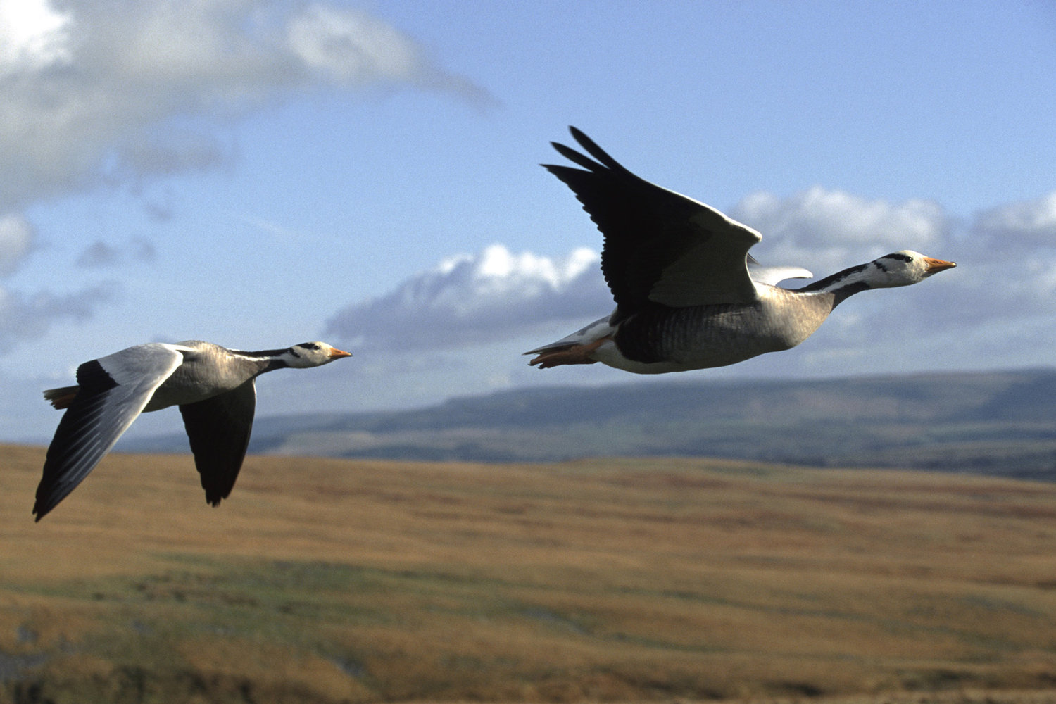 Image of bar headed geese in flight from John Downer/Nature Picture Library/Corbis