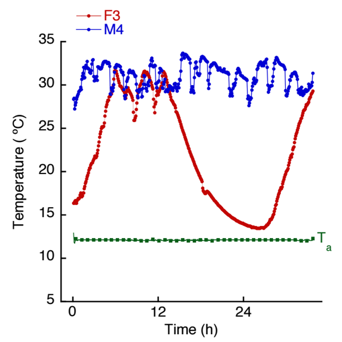 Figure Legend Graph depicting the body temperature of two tenrecs (female #3 and male #4) showing the variable nature of thermoregulation in the active season.  Tenrecs may show very different responses depending on day.  The green points represent ambient temperature (12 °C).