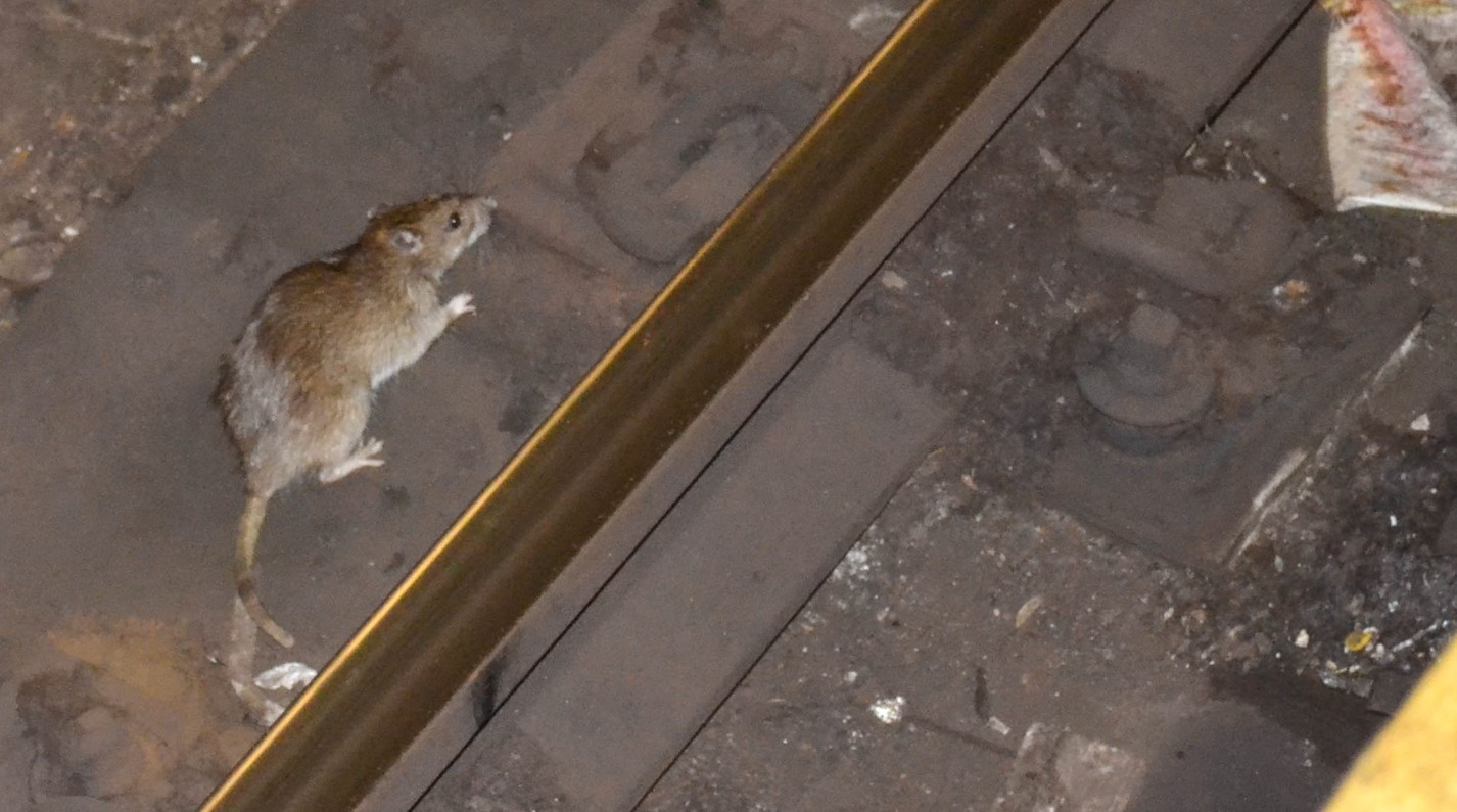 Image of a rat in the New York City subway By m01229 from USA - A REAL NYC rat!, from Wikimedia commons