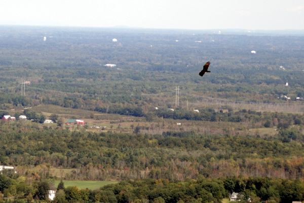 A soaring bird-- turkey vulture, I think-- from the Helderberg Escarpment at Thacher park.