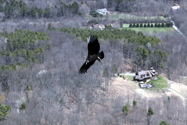Turkey vulture from Thacher Park.