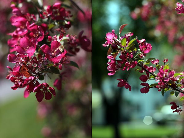Two pictures of the flowers on the ornamental cherry tree in our yard.