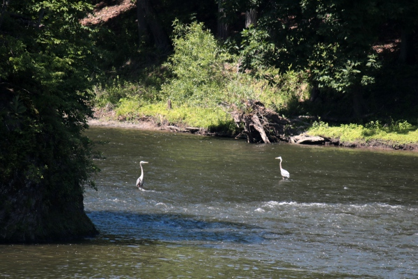 Some herons in the Mohawk near Peebles Island.