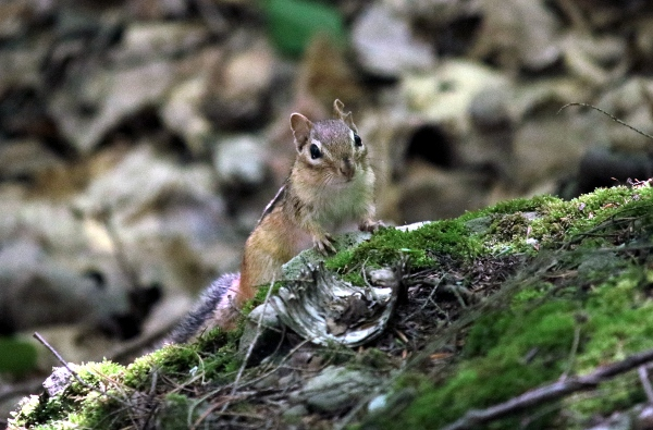 Chipmunk in the woods on Vroman's Nose.