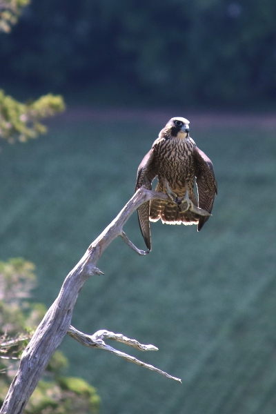 Peregrine falcon at Vroman's Nose.