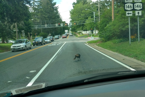 Wild turkey crossing Balltown Road in Niskayuna, taken through the windshield of my car.