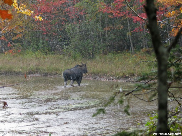 Cow Moose in a Rain Storm
