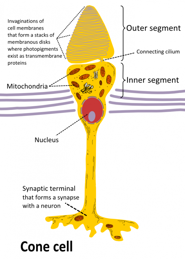 Cone Cell anatomy