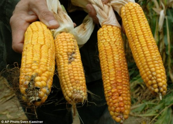 Image credit: AP Photo / Sven Kaestner. GMO corn on the right, non-GMO on the left.
