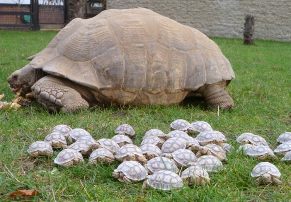 Image credit: African Sulcata Tortoise Hatchlings, © 2013 Imgur, LLC.