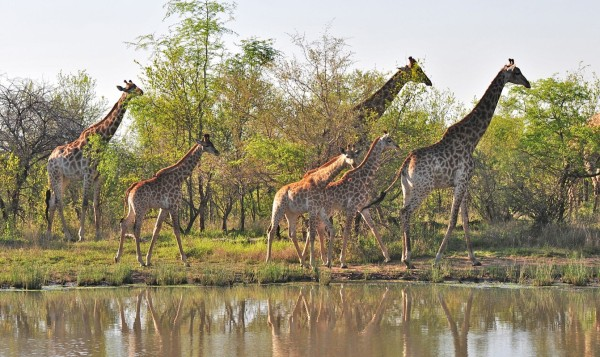 Image credit: Irene Nathanson of http://picturethissafari.blogspot.com/2012/11/a-typical-day-in-african-bush-londolozi.html.