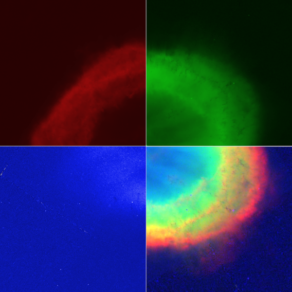 Hubble images of M57 taken at wavelengths (in nanometers) of 658 (red), 502 (green) and 469 (blue), color-coded and composited by Brian Koberlein.