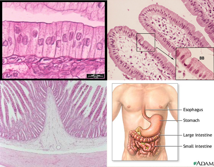 Close up of columnar epithelial cells (TL), these cells organized into villi, surrounding the lamina propria (TR), a cross section of the small intestine, showing the epithelium (dark pink) over the lamina propria (white), and smooth muscle (light pink) (BL), and the small intestine along with other organs of the digestive tract.