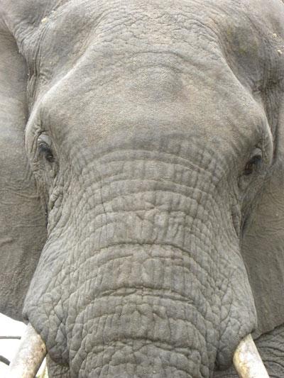 i-f9d75f2ece748b8469e67f17f24d3f1b-Elephant-portrait.jpg